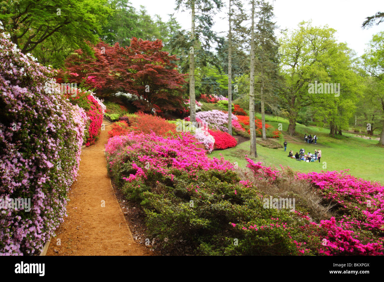 Azaleas and rhododendrons, the Punch Bowl, Valley Gardens, The Royal Landscape, Windsor Great Park, Surrey, United - Stock Image