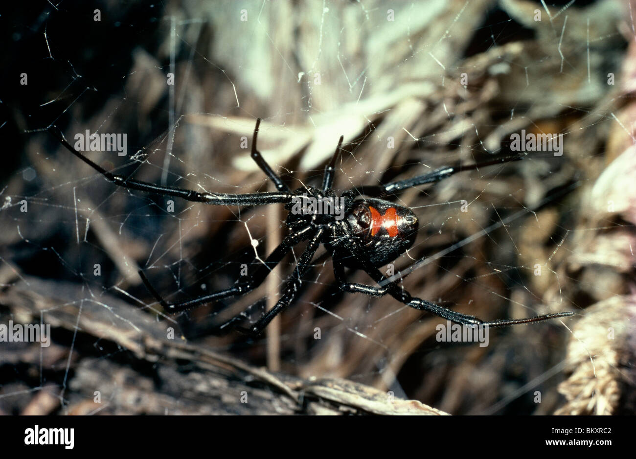 Southern black widow spider (Latrodectus mactans: Theridiidae) female in her web, Mexico - Stock Image