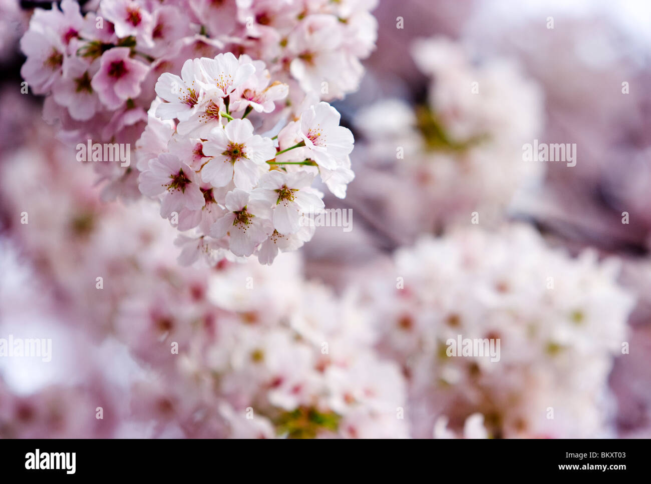 Cherry blossoms in Washington DC during Cherry Blossom Festival - Stock Image
