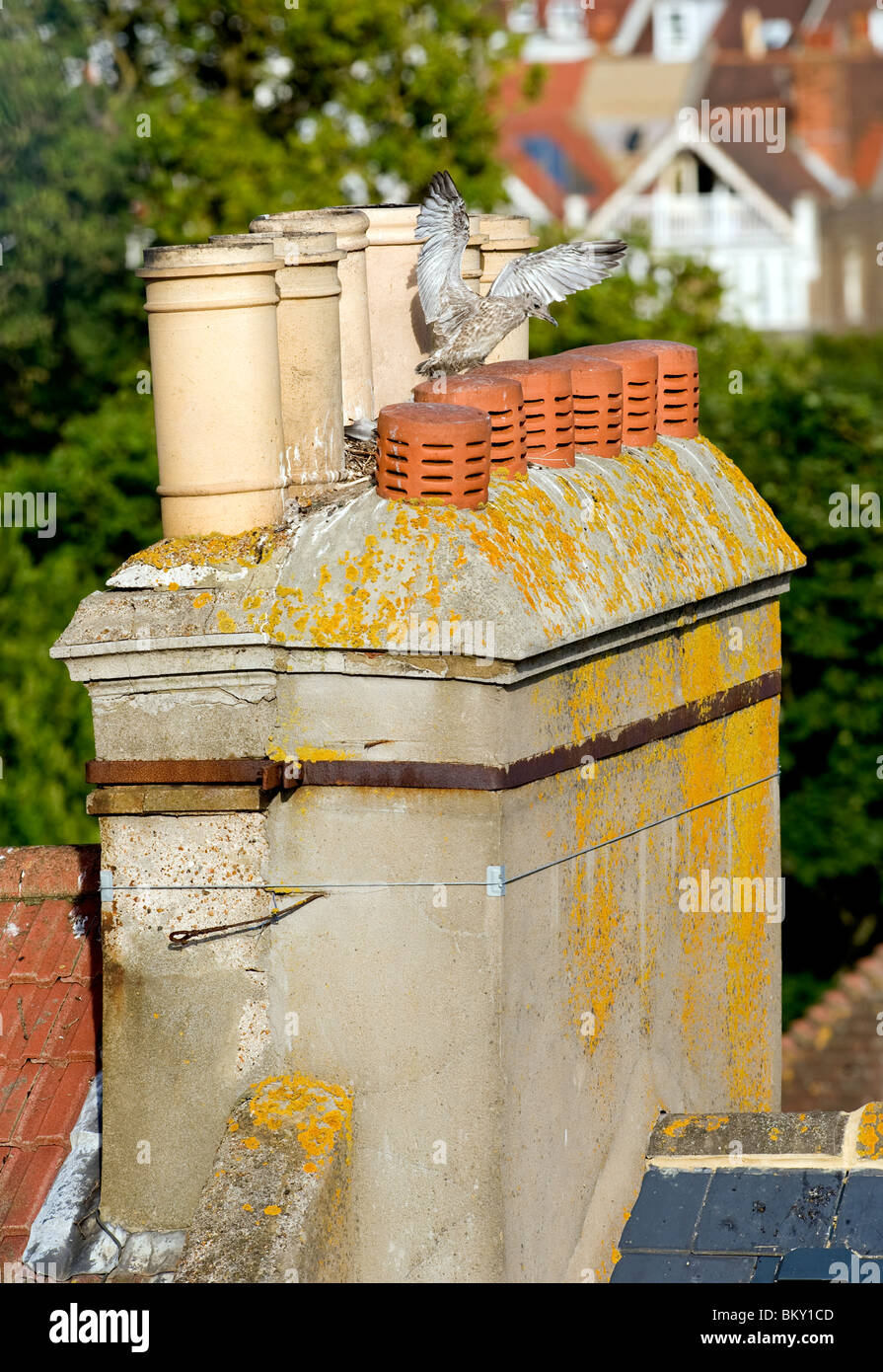 A Herring Gull baby (ted) practices flying by flapping its wings among chimney pots on a roof top in Brighton, East - Stock Image