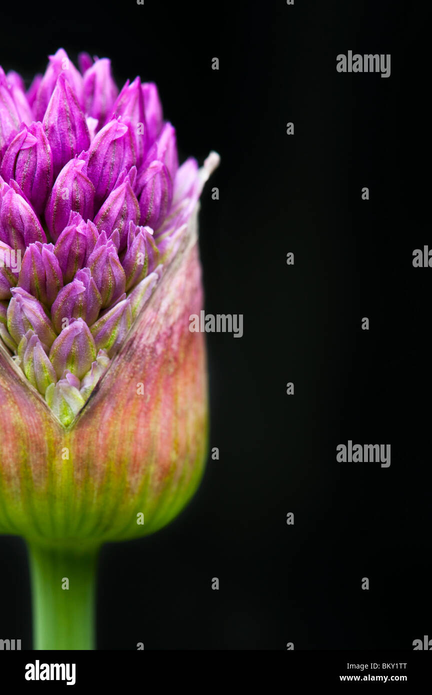 Allium hollandicum 'Purple Sensation'. Ornamental Onion flower  emerging from bud against black background - Stock Image