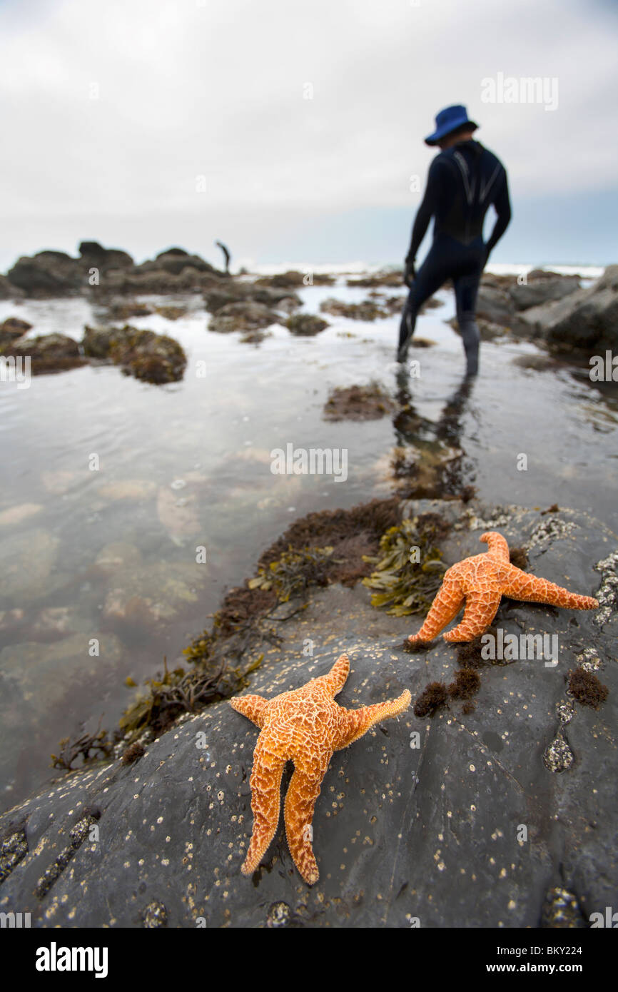 A man wades in the ocean on The Lost Coast, California. - Stock Image