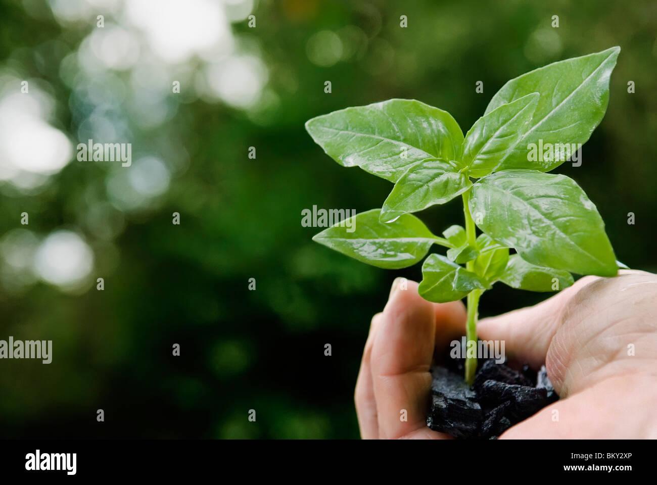 Basil plant in hand full of coal - Stock Image