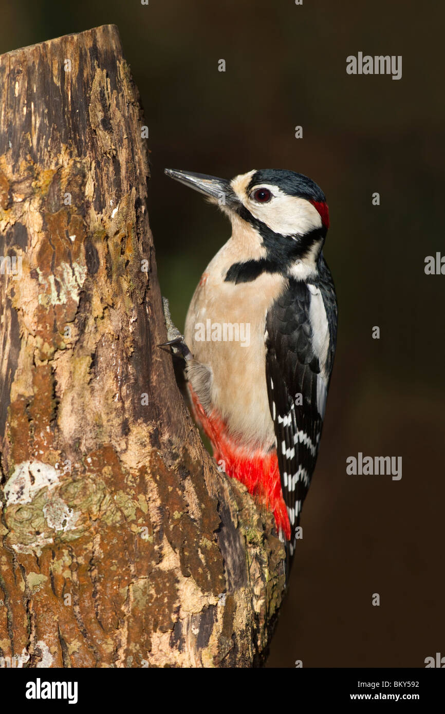 Great Spotted Woodpecker; Dendrocopos major; male - Stock Image