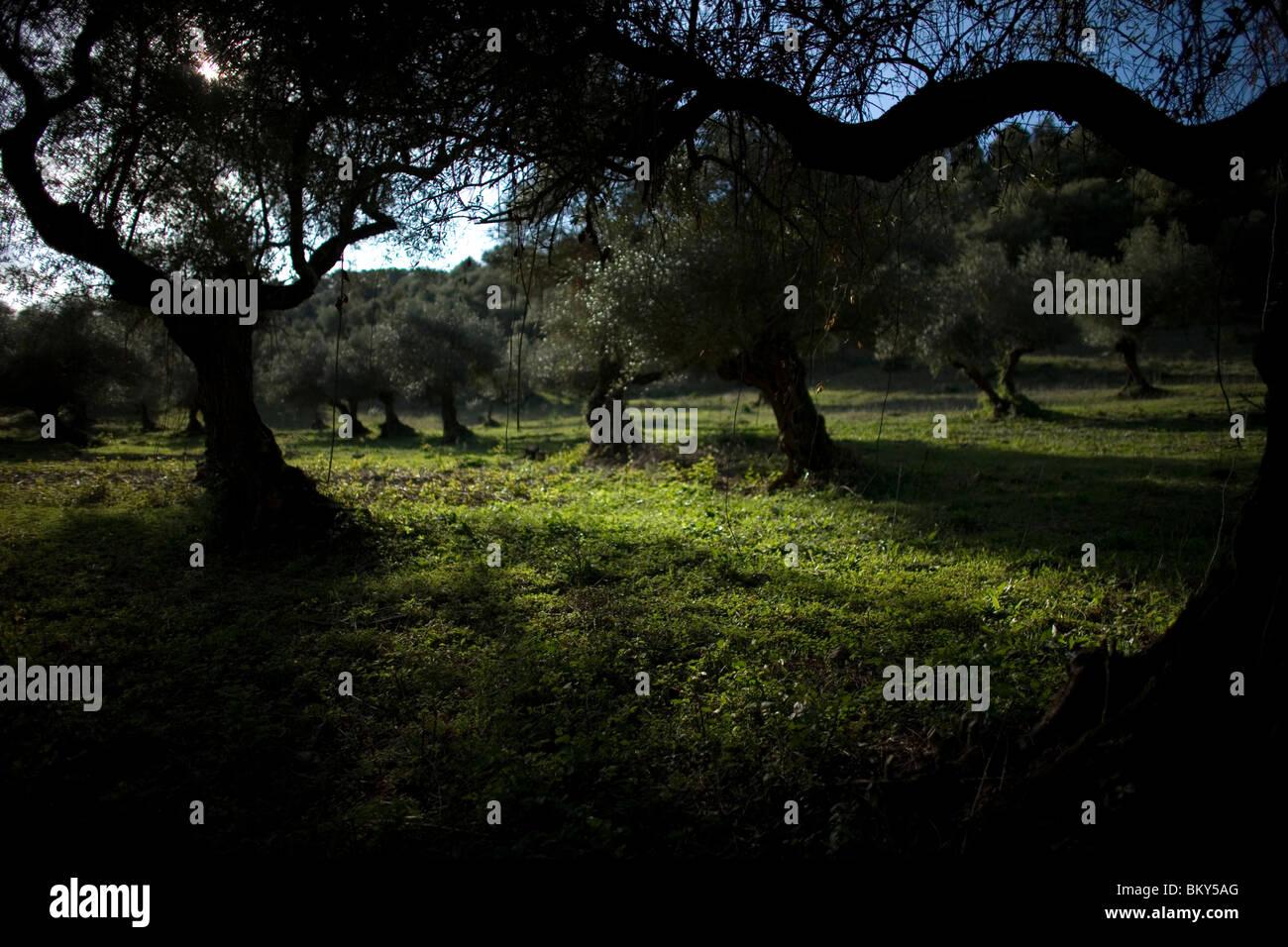 Olive trees in a rural path in El Bosque, Cadiz Province, Spain, March 12, 2008.Photo/Chico Sanchez Stock Photo