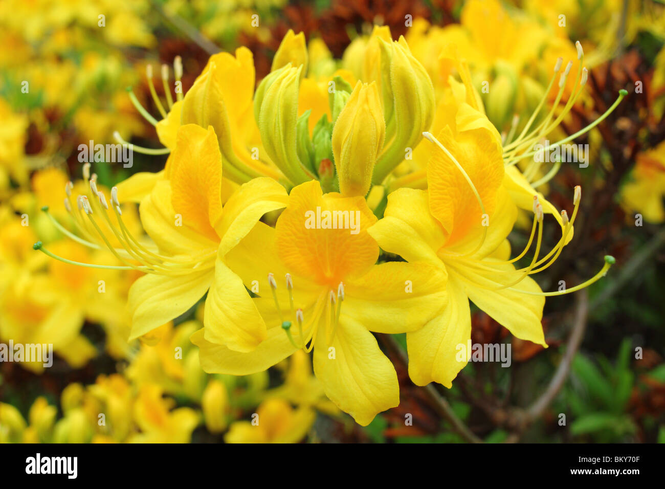 Yellow azalea flowers close up Rhododendron luteum - Stock Image