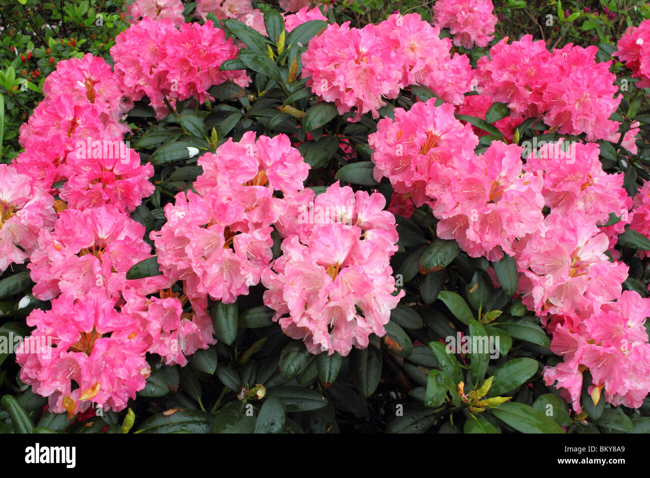 Pink spring rhododendron blossom Stock Photo