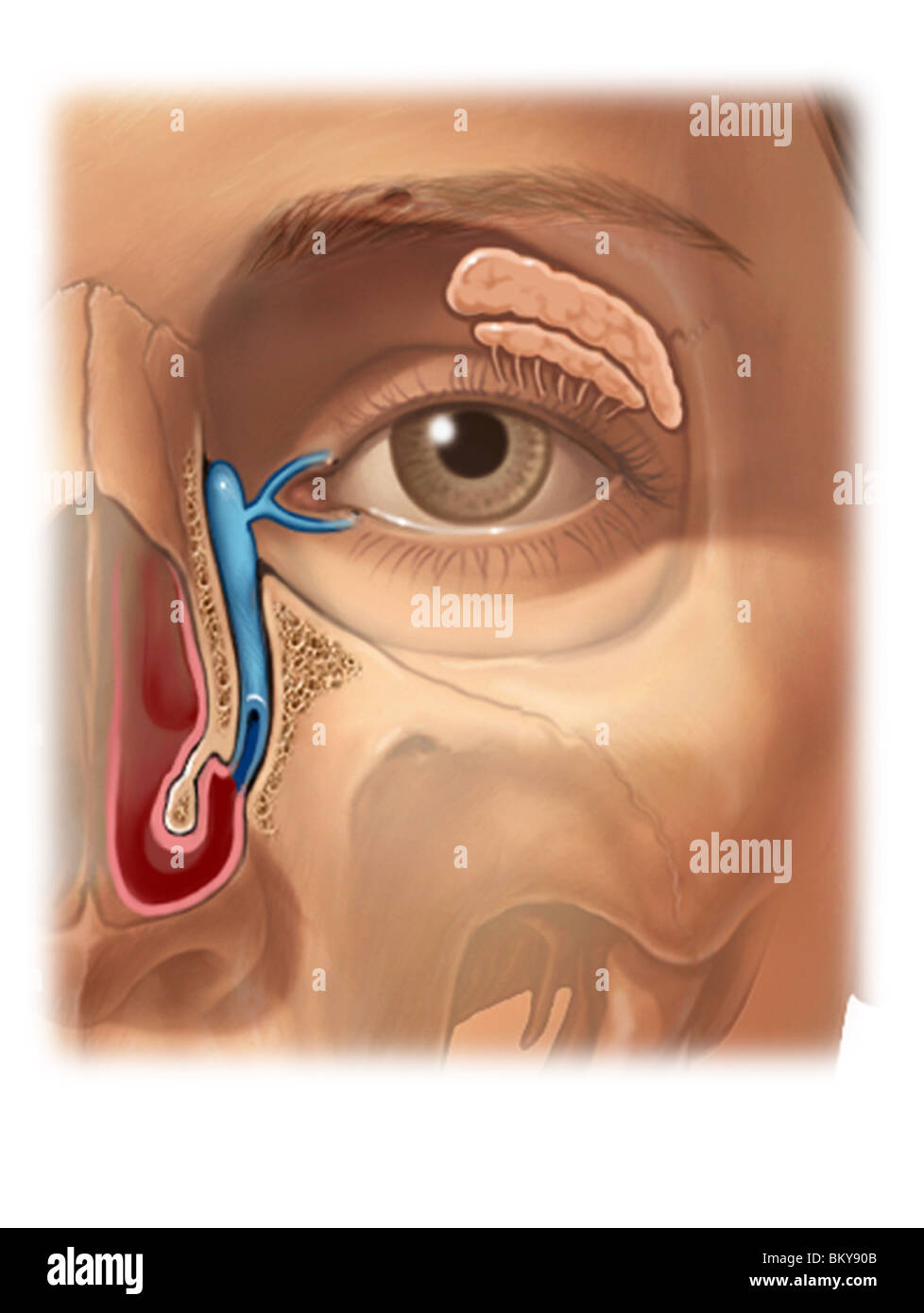 This image details the nasolacrimal duct which drains tears from the ...