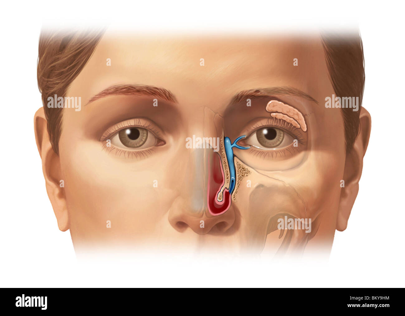 This image details the lacrimal apparatus which produces tears and ...