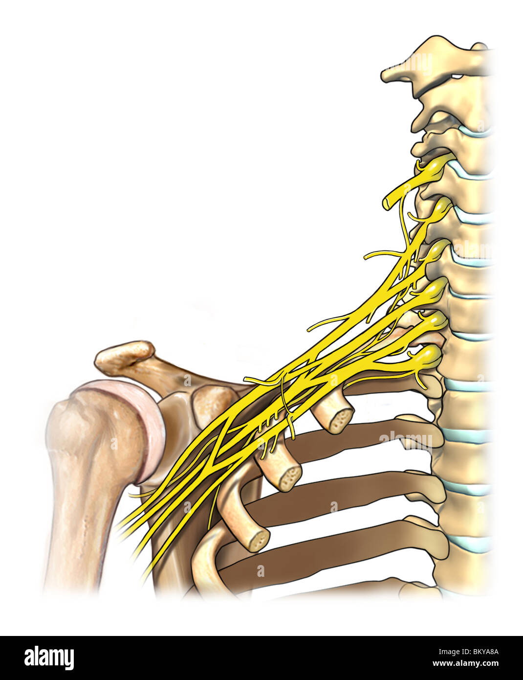 Anatomy of brachial plexus Stock Photo: 29489610 - Alamy