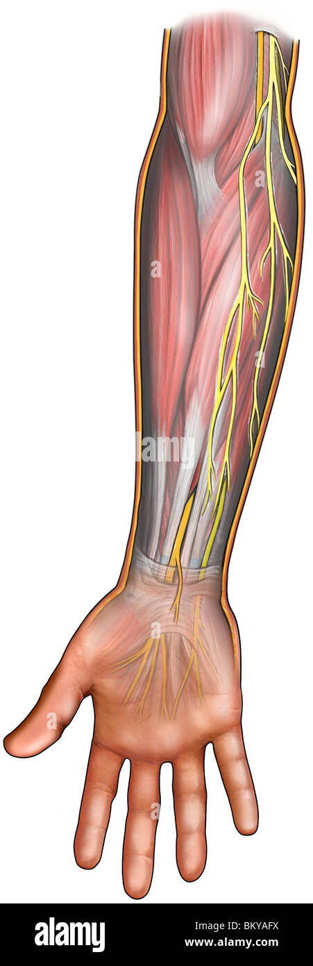 Human Arm Nerves Stock Photos & Human Arm Nerves Stock Images - Alamy
