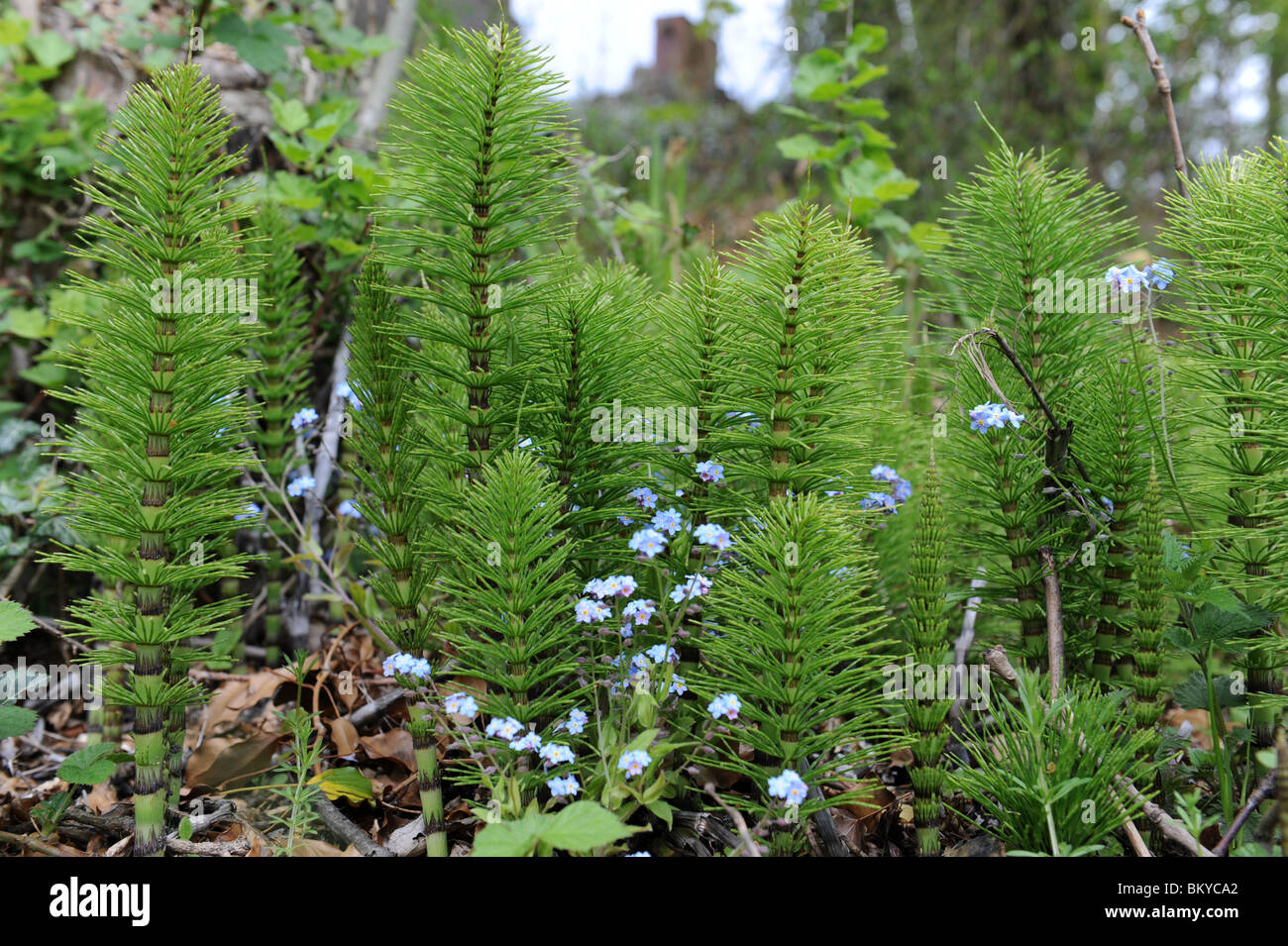 mares tails weeds