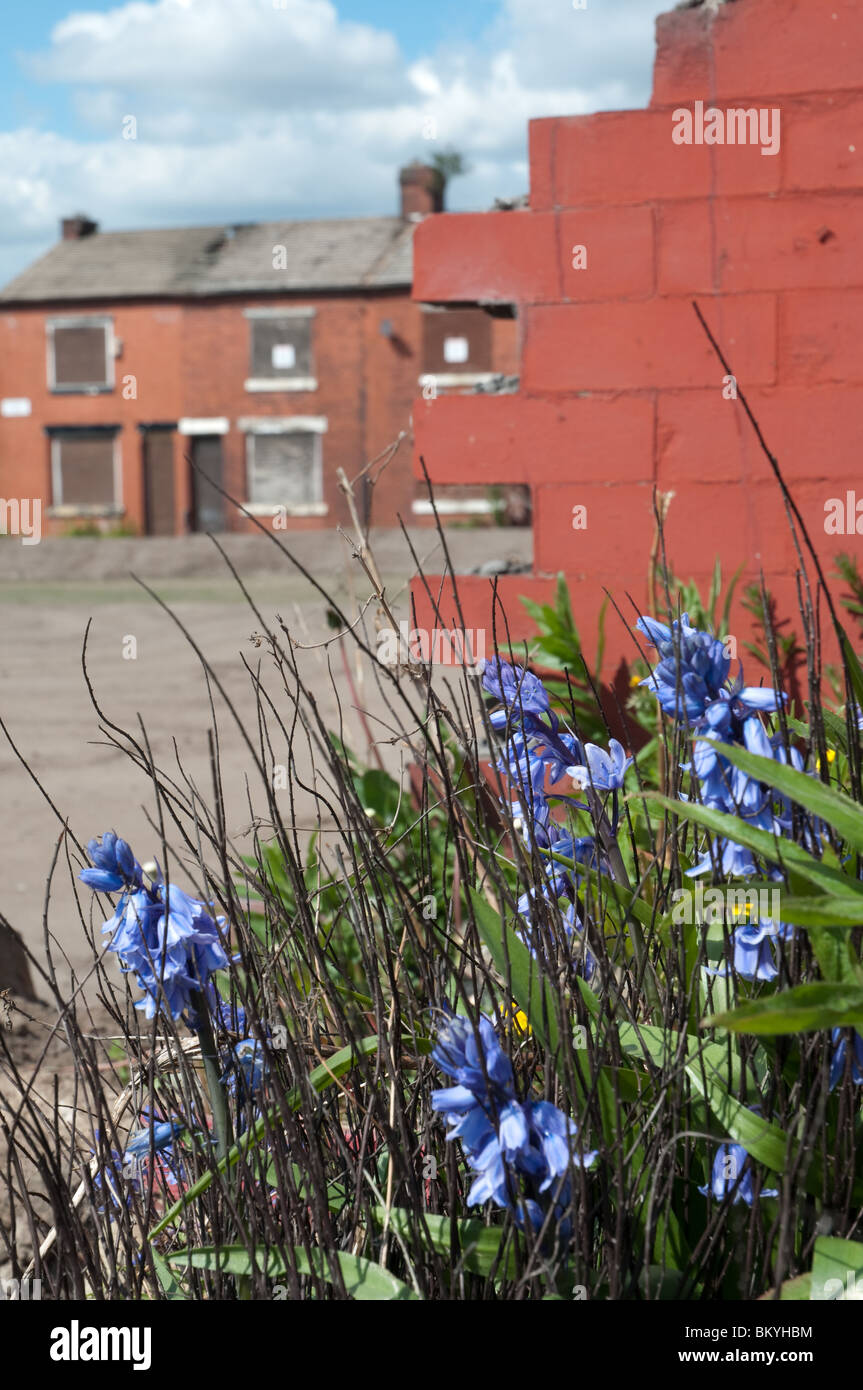 Flowers growing in front of demolished house,in the background a row of boarded up houses,East Manchester,England. - Stock Image