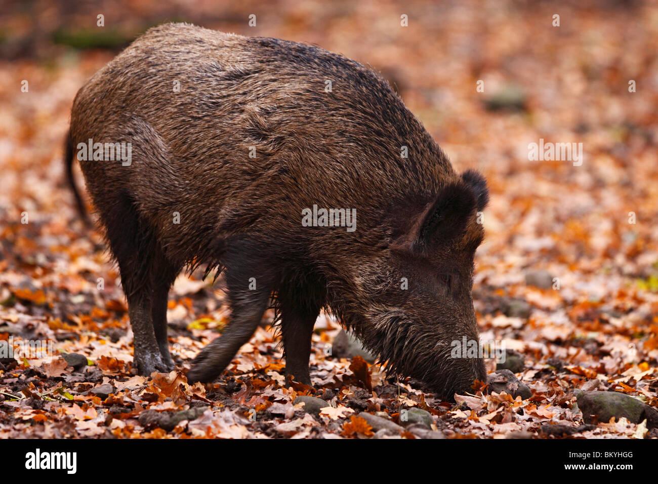 Wildschwein, sus, scrofa, wild, boar, - Stock Image