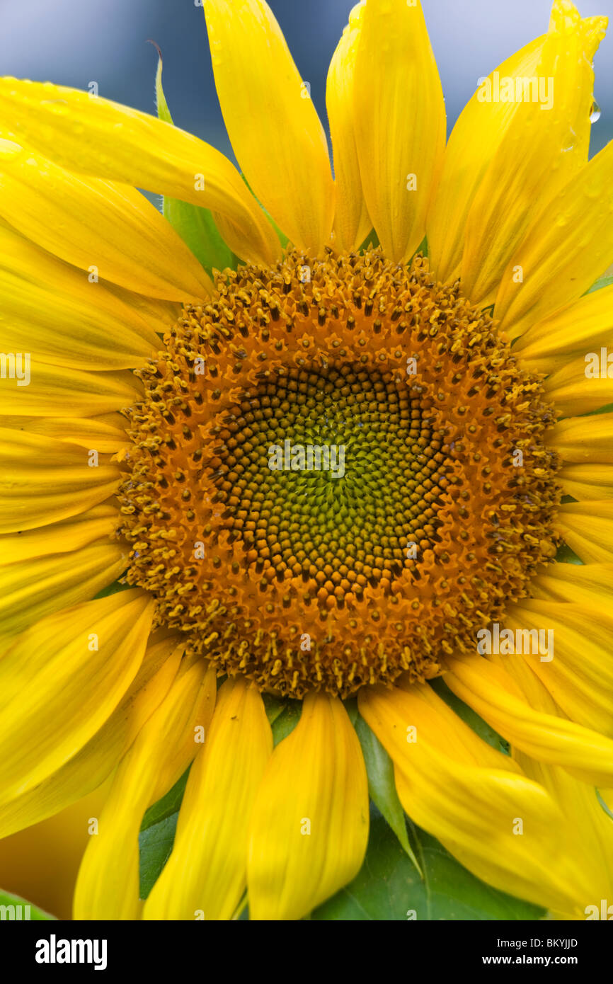 Green River Wildlife Area, Lee County, IL Single sunflower head detail - Stock Image