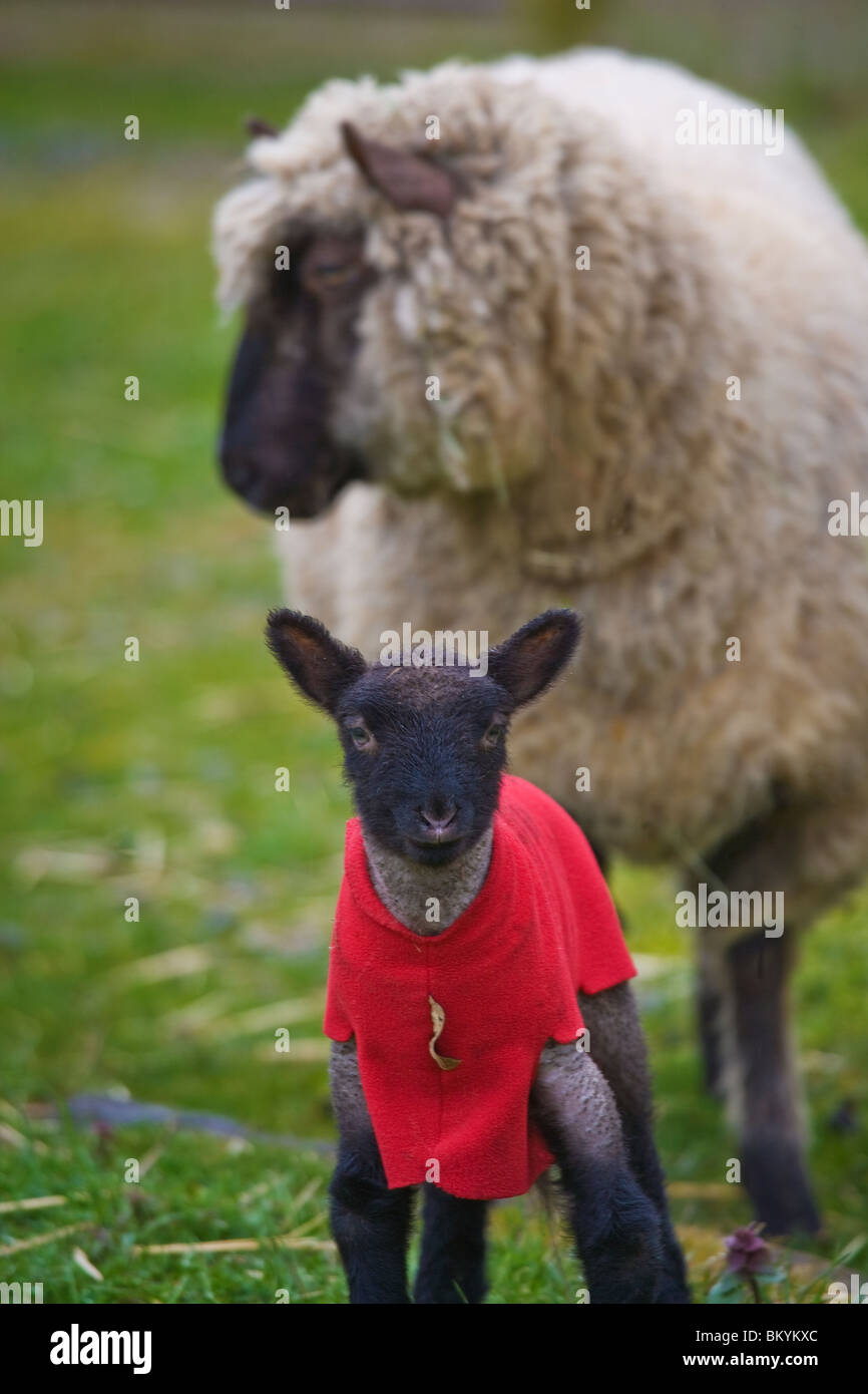 Ewe and lamb in early spring - Stock Image