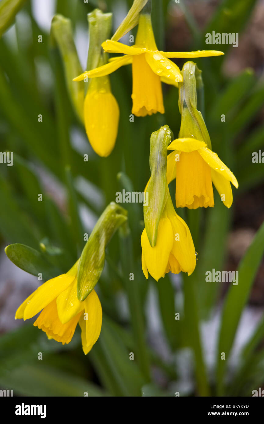 Vashon, WA Spring blossoms of yellow jonquil or Narcissus (Narcissus tete-a-tete) - Stock Image