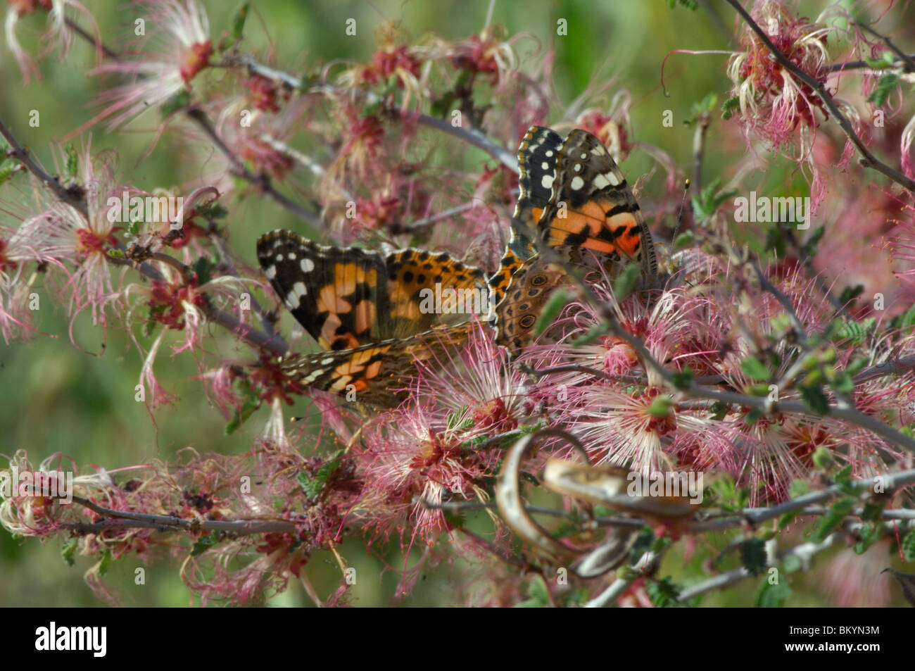 Painted lady butterfly (Vanessa cardui), feeding from wildflowers - Stock Image