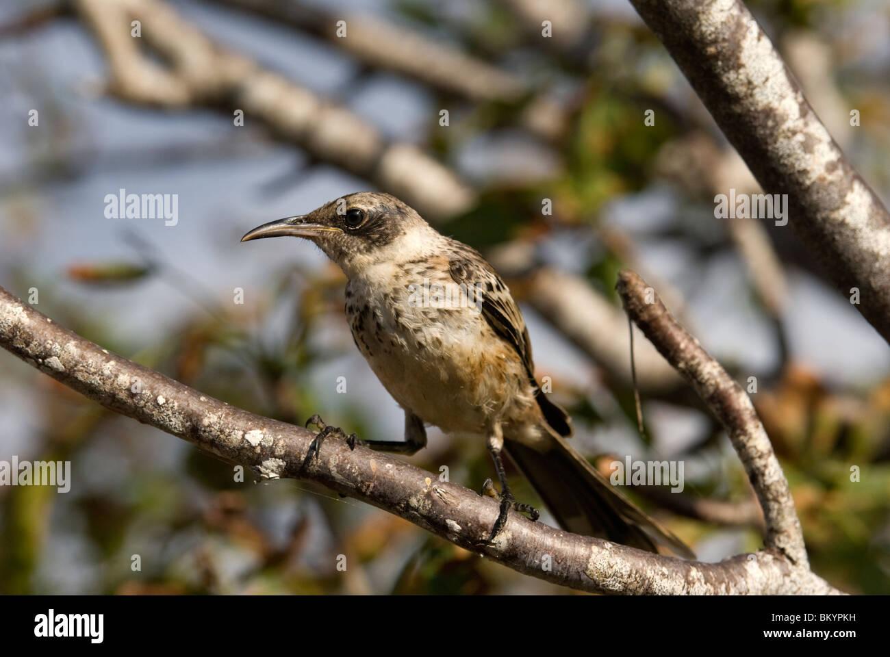 Galapagos Mocking Bird, Nesomimus parvulus - Stock Image