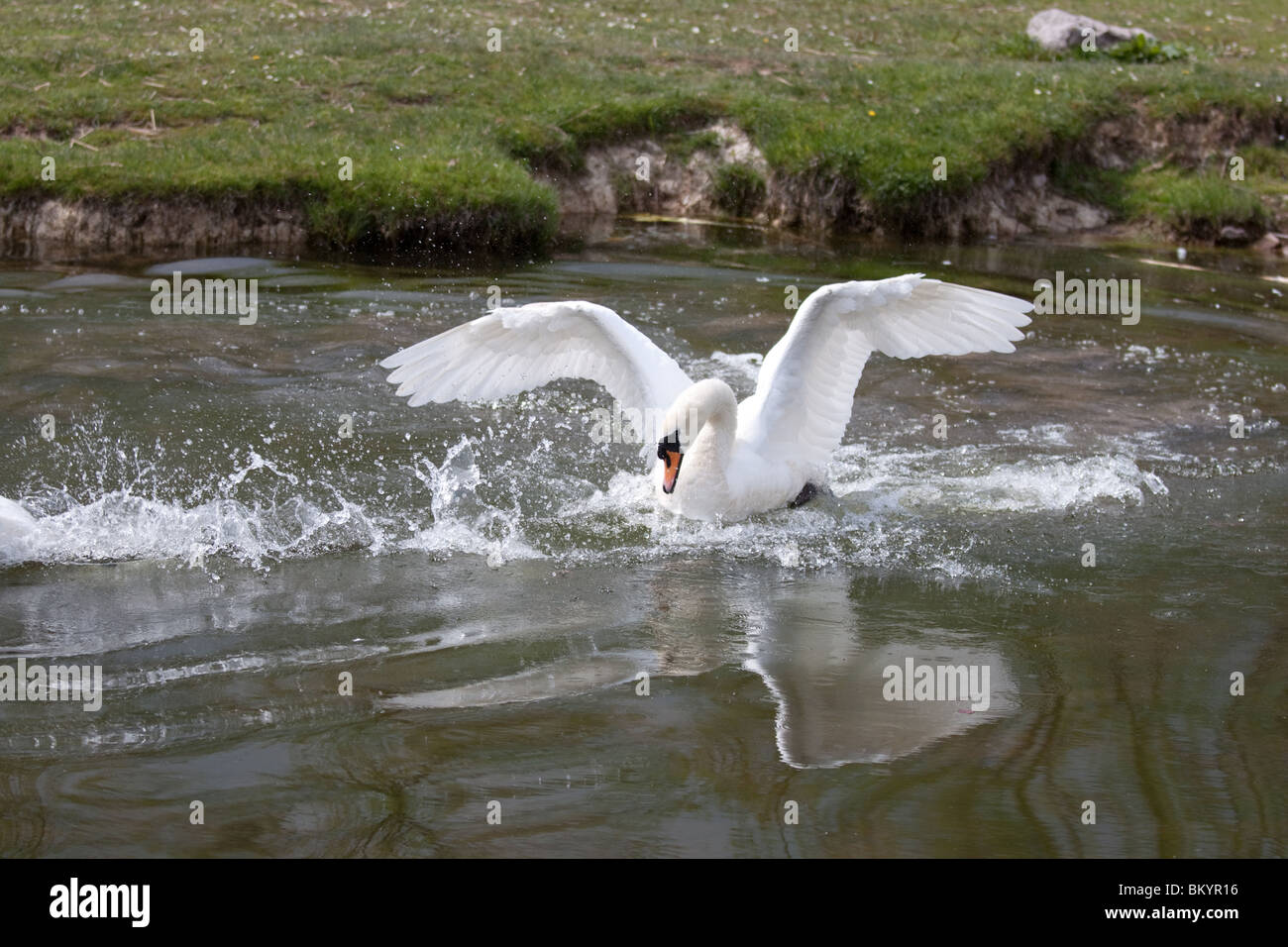 Swan in aggressive pose with spread wings warning off another swan - Stock Image