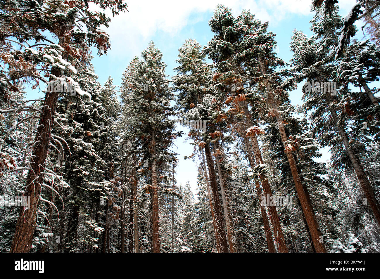 Towering Fir trees covered in a light dusting of early winter snow in California's El Dorado National Forest - Stock Image
