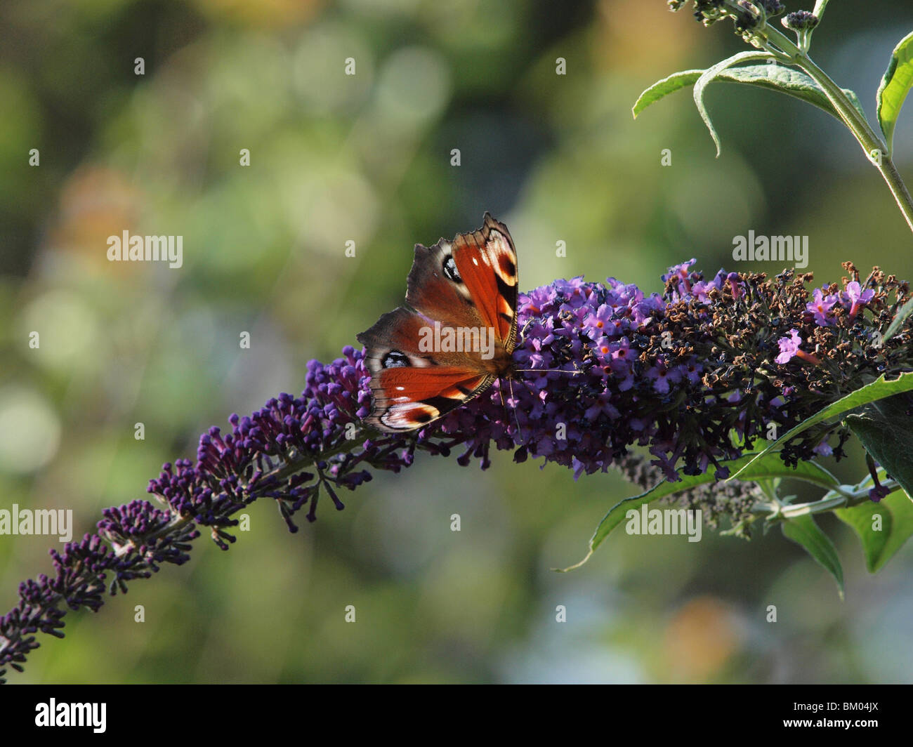 european peacock butterfly - Stock Image