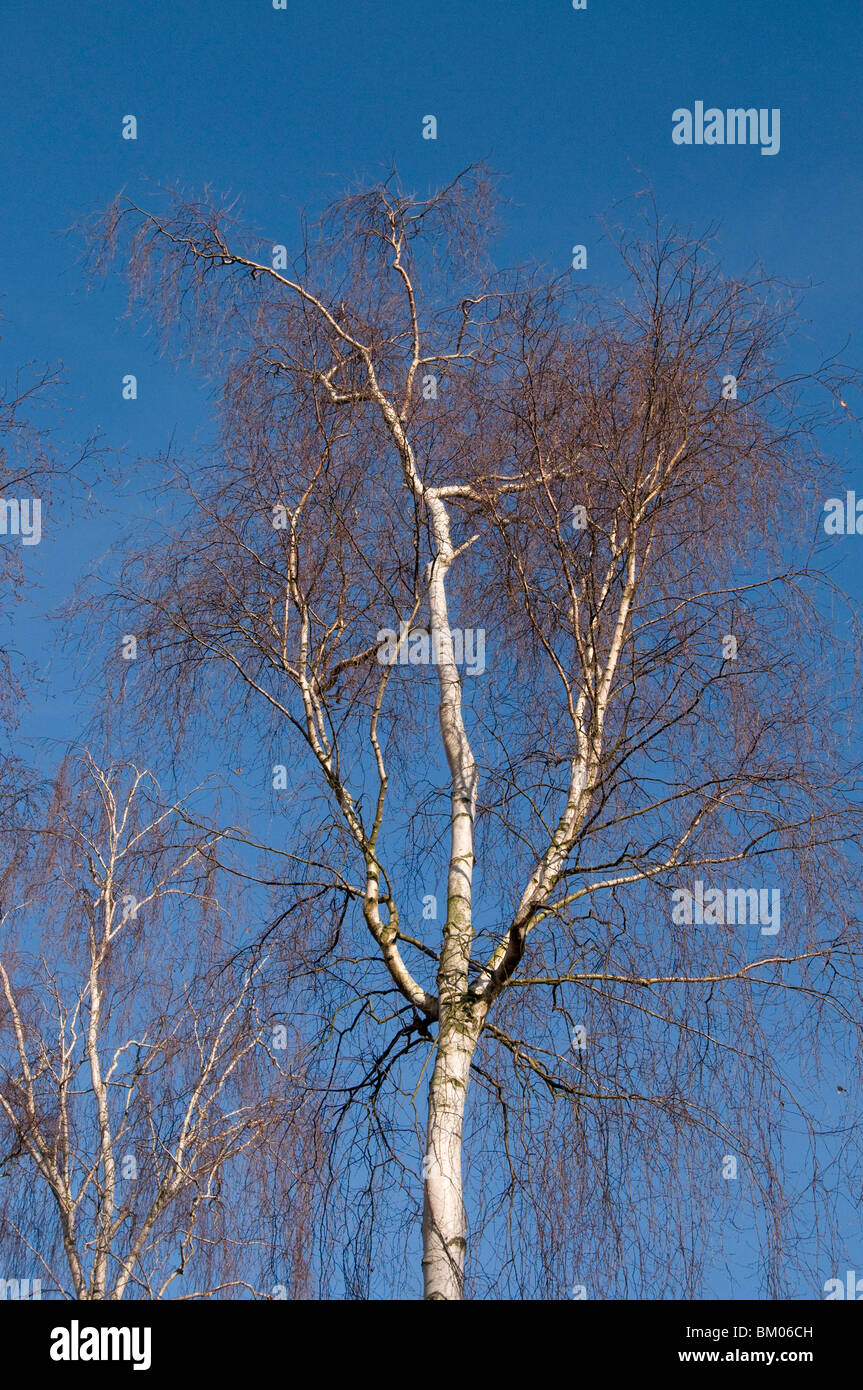 Silver birch, Betula pendula, outlined against blue sky - Stock Image