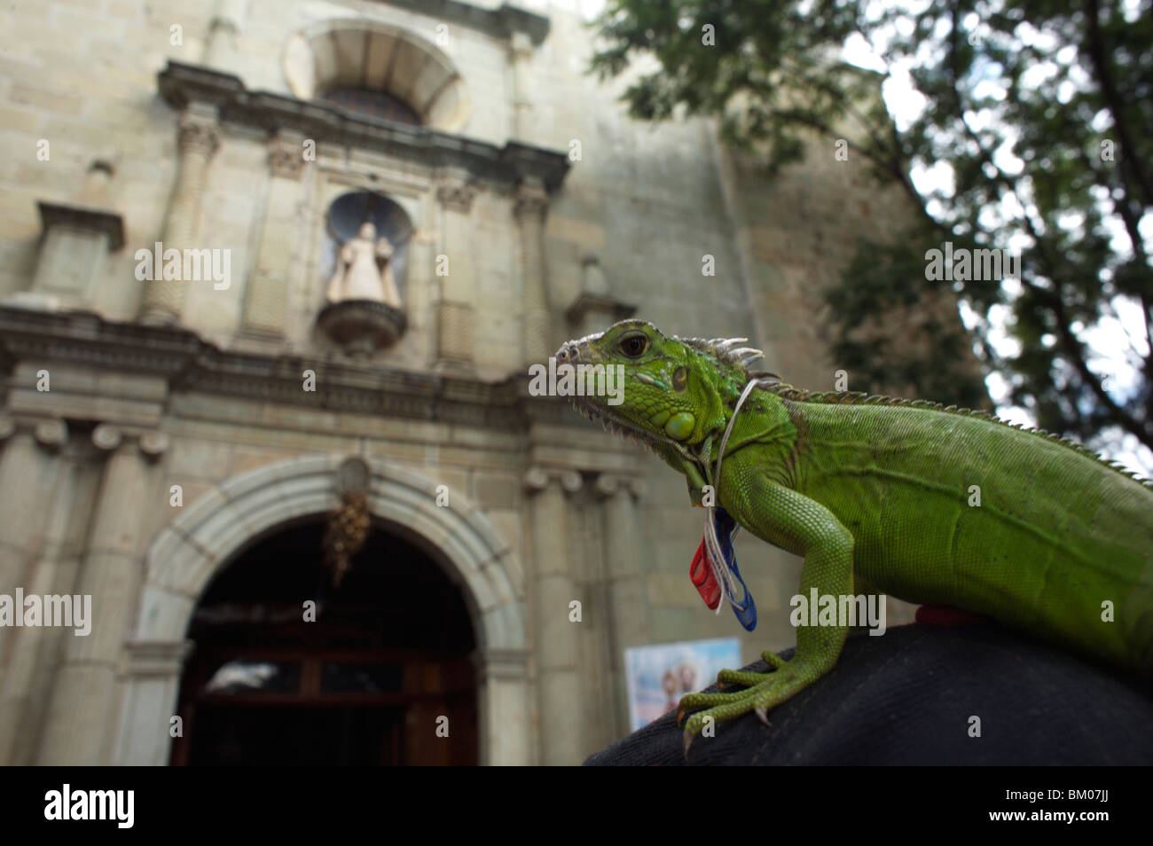 An iguana stands on her owners hat outside La Merced Catholic church during the Blessing of the Animals in Oaxaca,Stock Photo