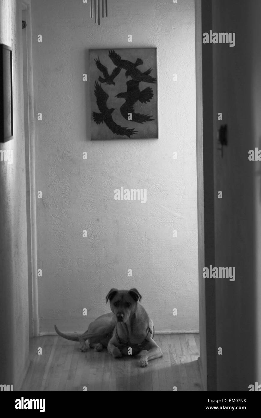 a dog sits at the end of a hallway with a painting of crows above him in a home in suburban albuquerque, new mexico, - Stock Image