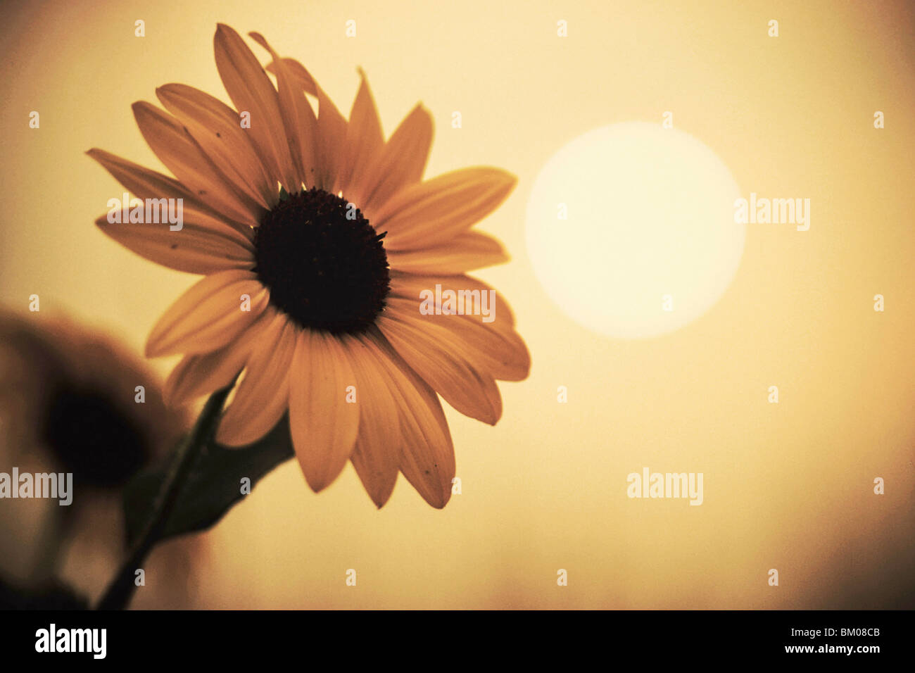 sunflower with tainted brown color and murky sun in the sky affected by the colorado wildfires near boulder - Stock Image