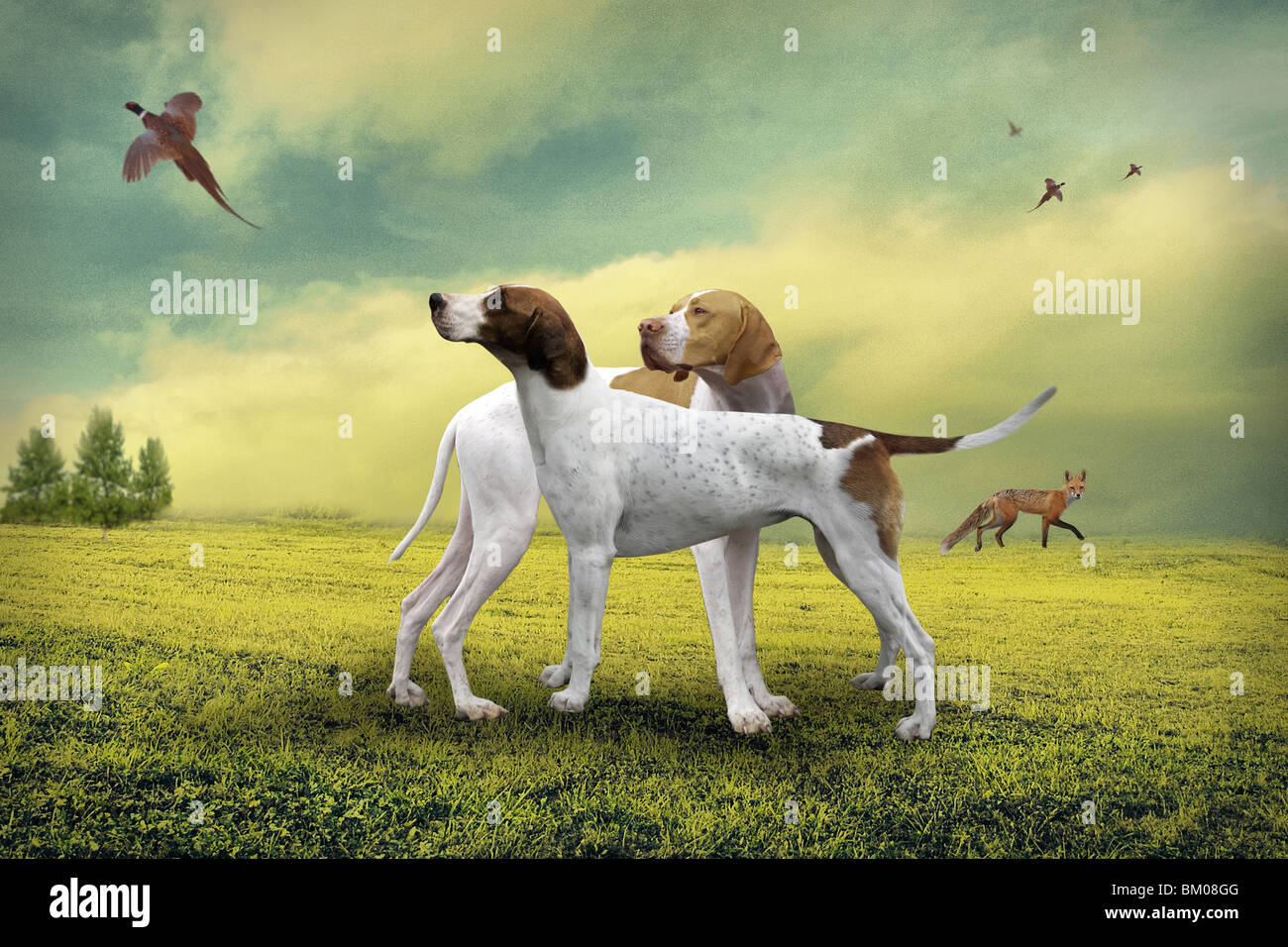hunting dogs in country scene with pheasant - Stock Image