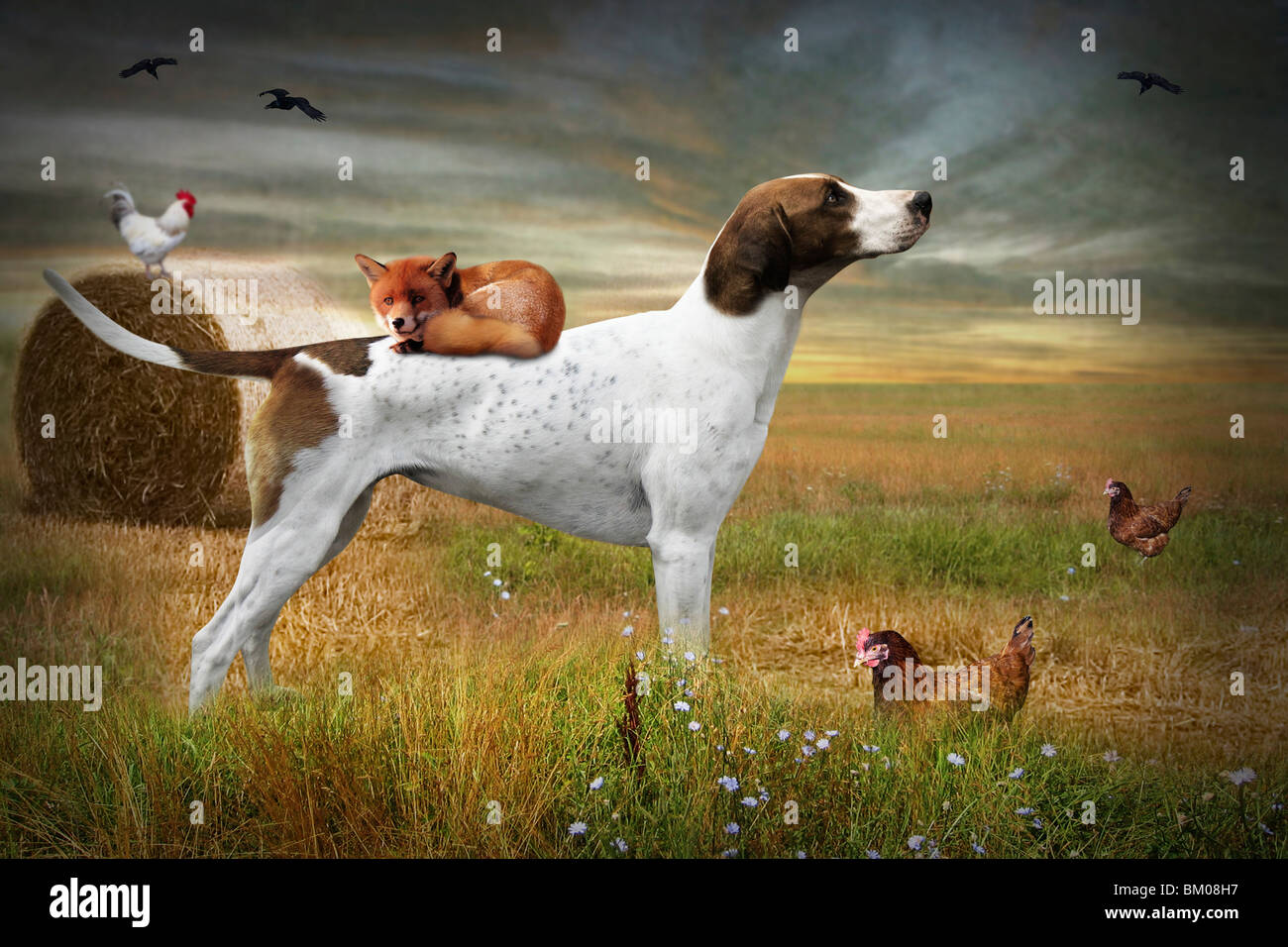 Hound with a fox asleep on it's back with chickens in a field - Stock Image