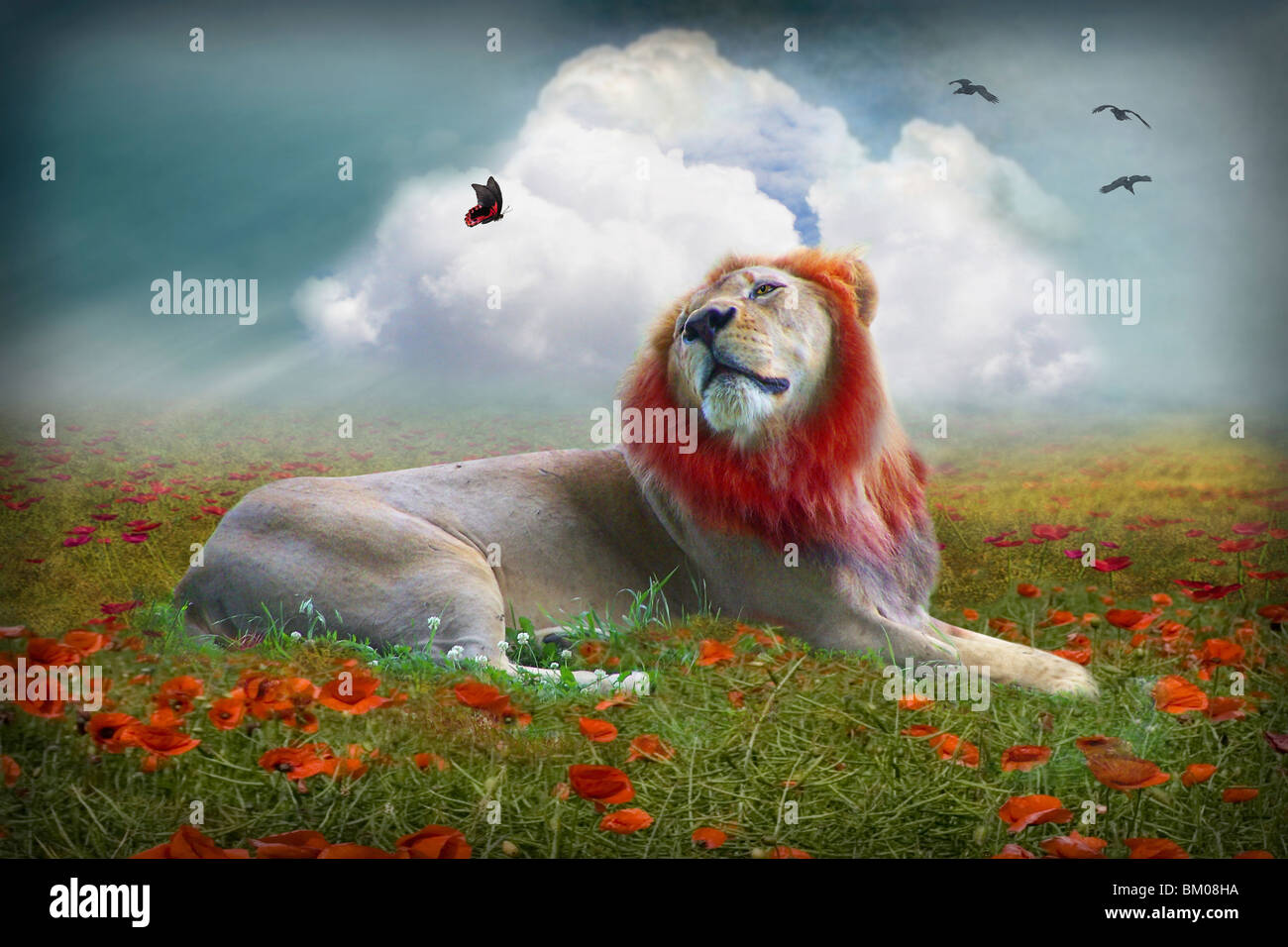 lion in a poppy field with butterfly - Stock Image