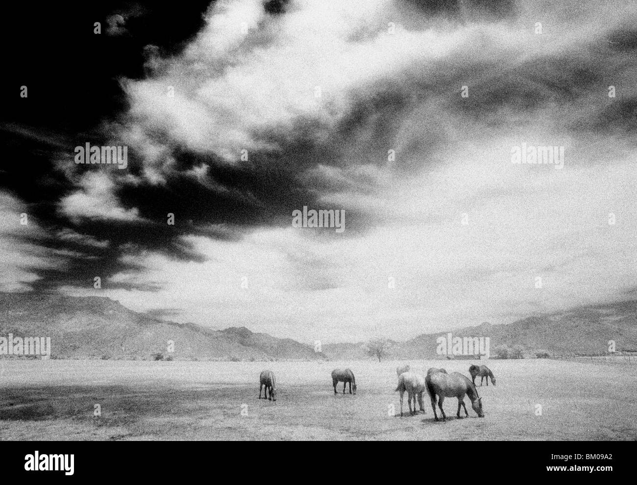 Horses grazing in the mountains of California - Stock Image