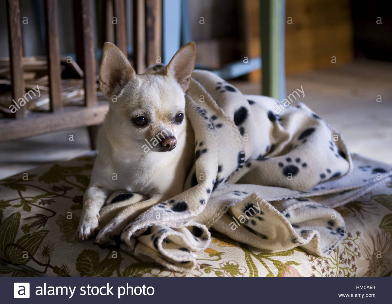 A Chihuahua Dog Laying On A Pillow Stock Photo Alamy