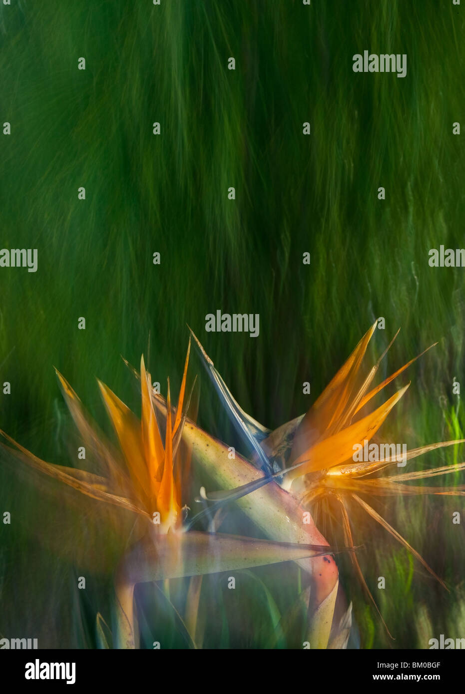 Abstract South African flowers in the UCSC Arboretum in Santa Cruz, California, USA. - Stock Image