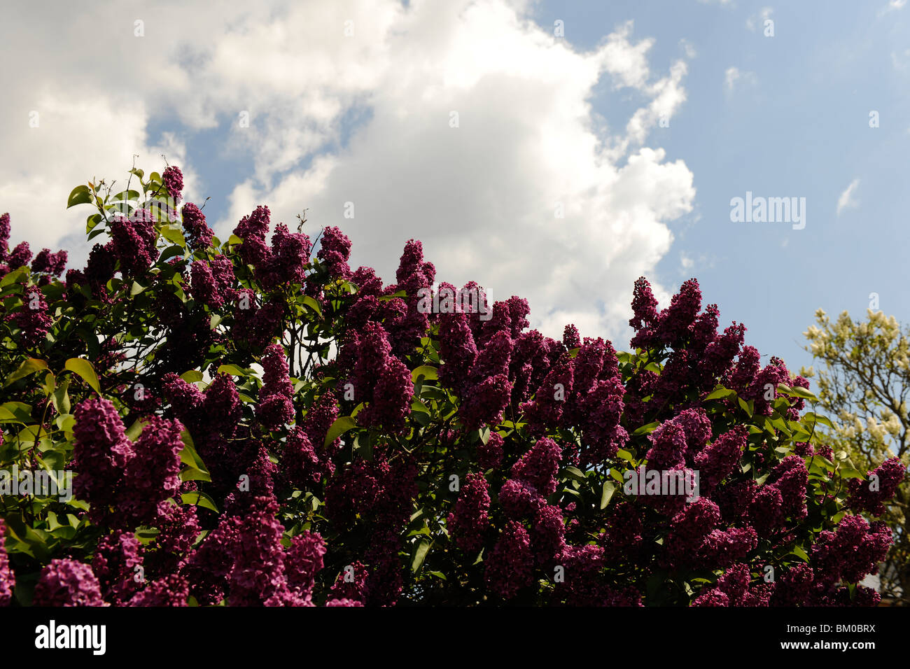 Lilac tree against blue sky - Stock Image