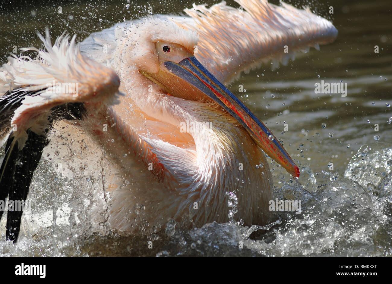 White Pelican (Pelecanus, onocrotalus) mating ritual Stock Photo