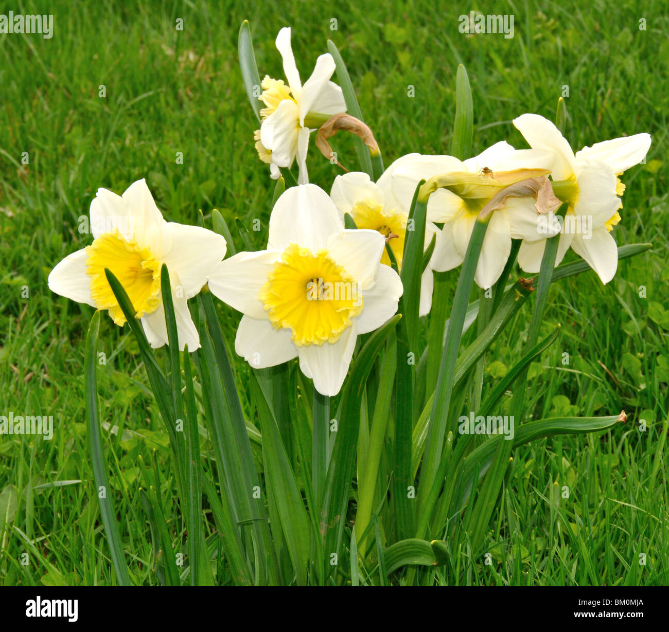 Daffodils in a cluster facing different directions - Stock Image