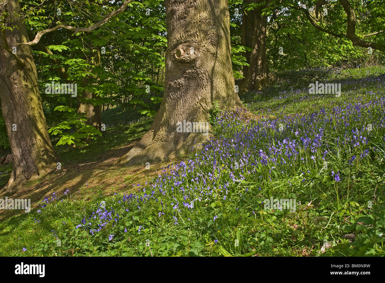 Bluebells in woodland at Easby near Richmond, Yorkshire. - Stock Image