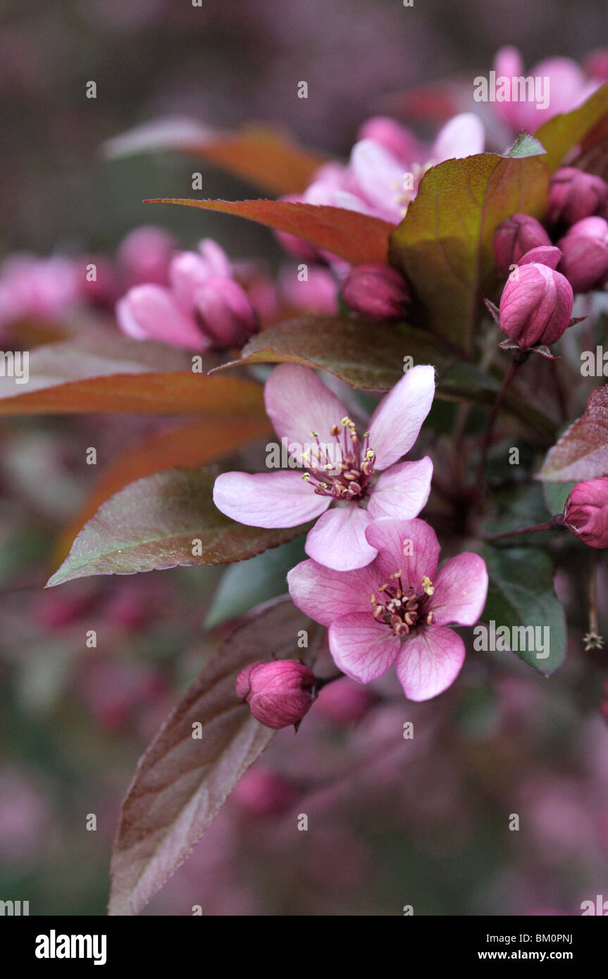 Crab apple (Malus x purpurea 'Eleyi') - Stock Image