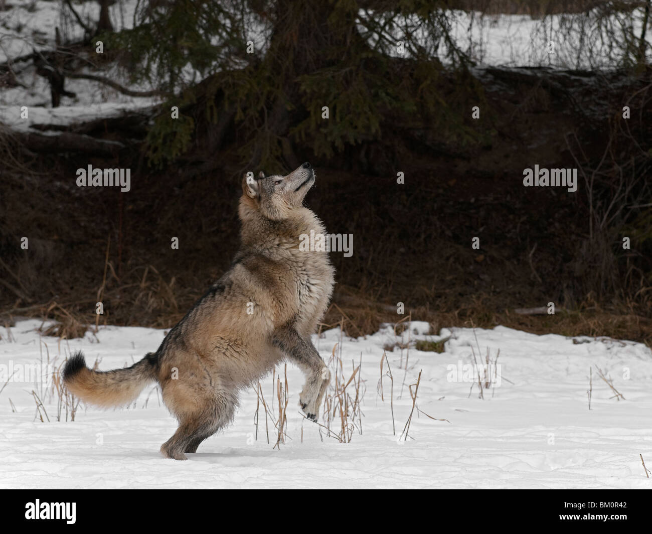 wolf jumping in snow stock photo 29521634 alamy