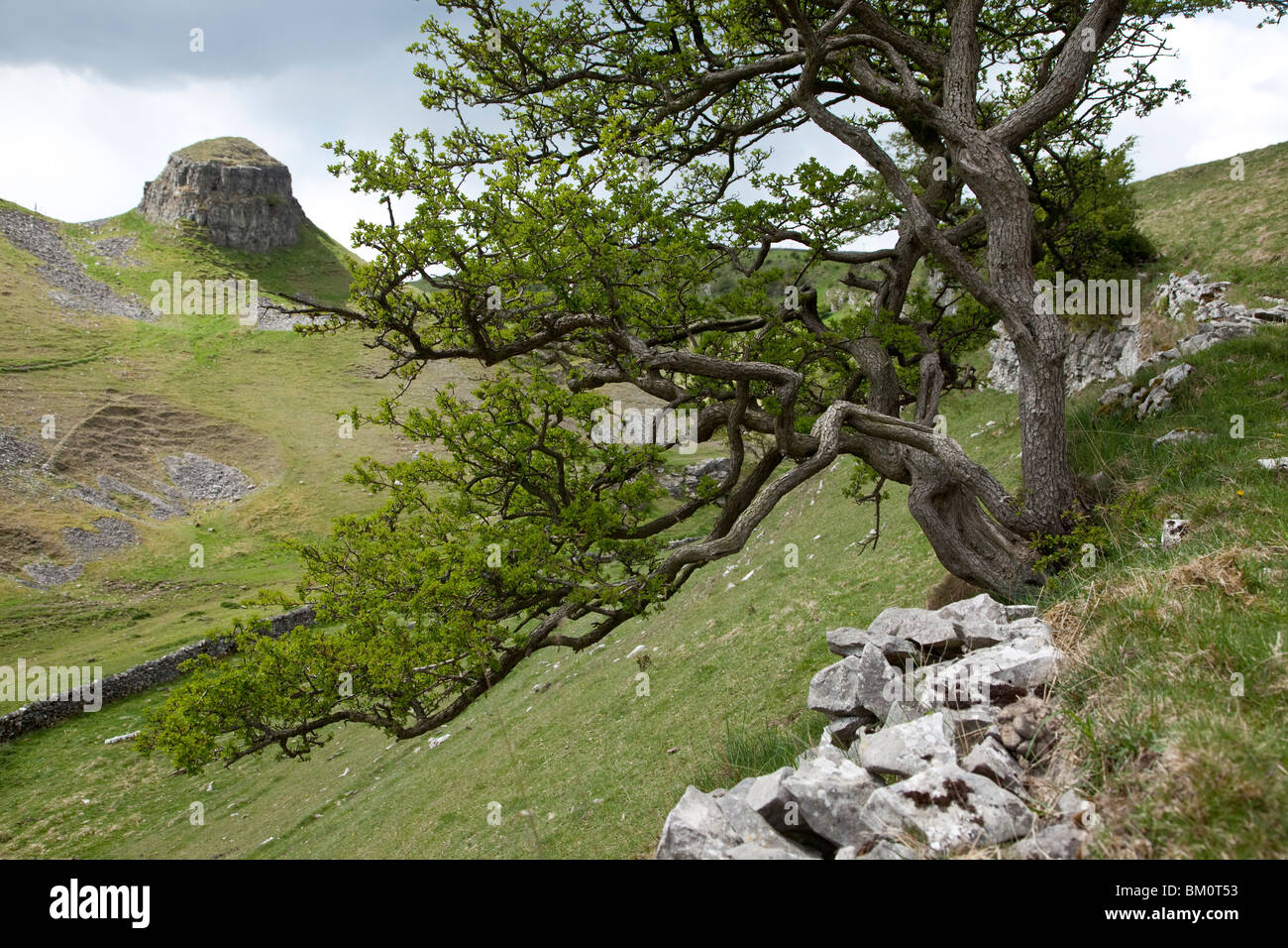 Hawthorn, growing from limestone outcrop, Cressbrook Dale, Derbyshire - Stock Image