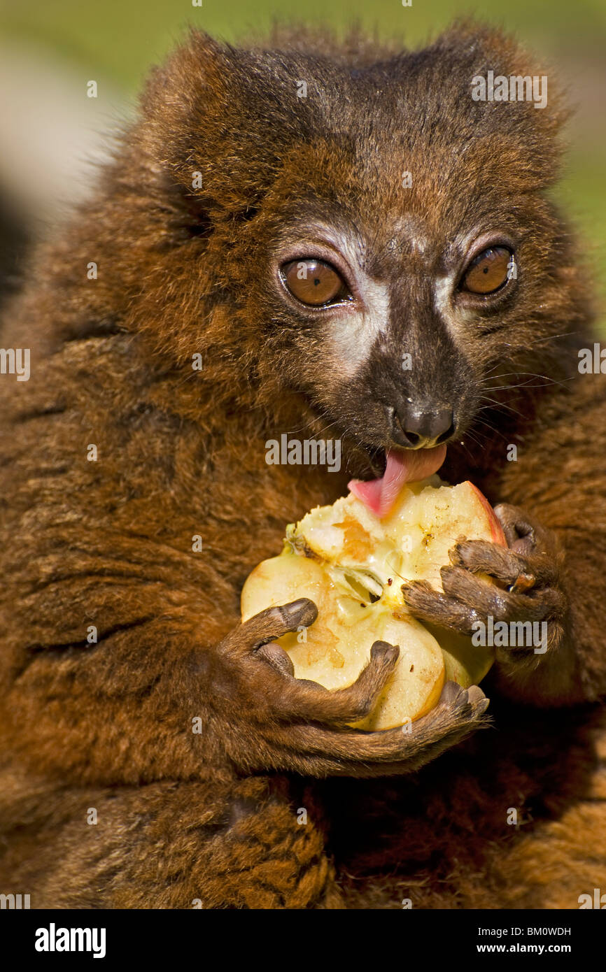 A Red Fronted Lemur licking an apple that it has held in its paws - Stock Image