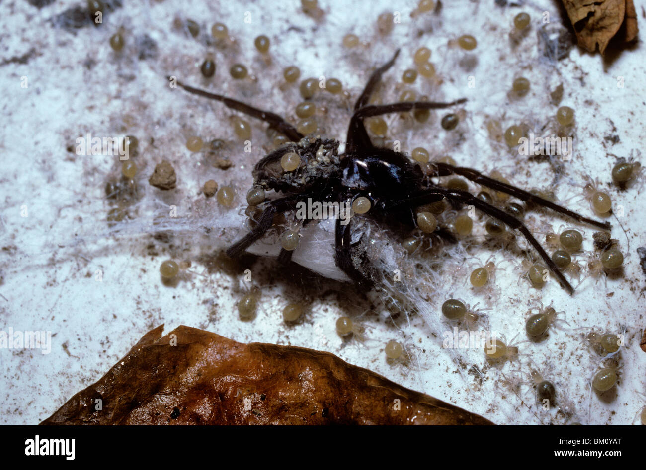 Black lace-weaver spider (Amaurobius ferox) babies feeding on the corpse of their recently dead mother (gerontophagy), - Stock Image