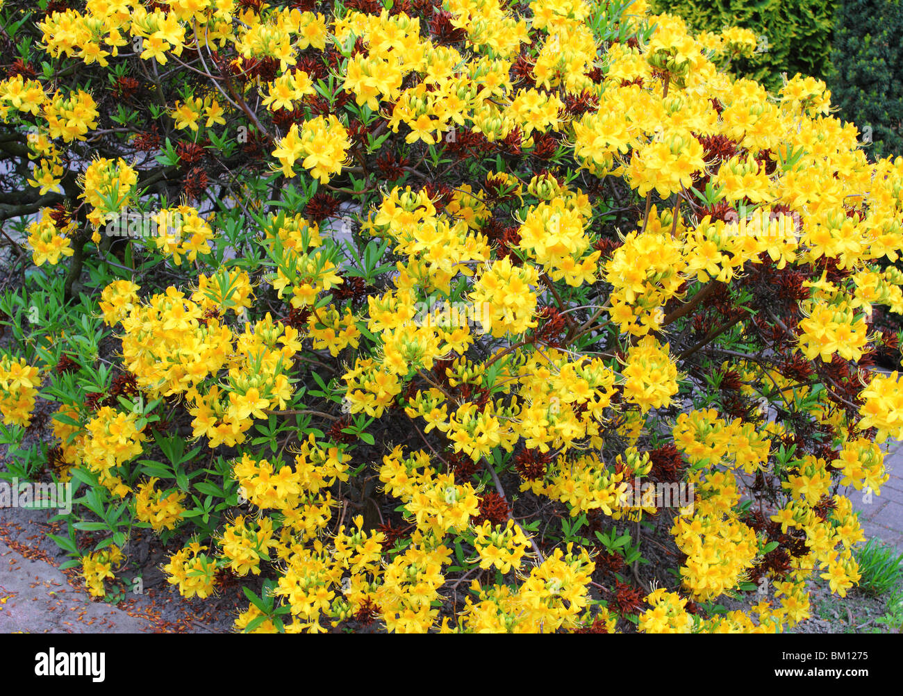 Yellow spring rhododendron blossom Rdododendron luteum - Stock Image