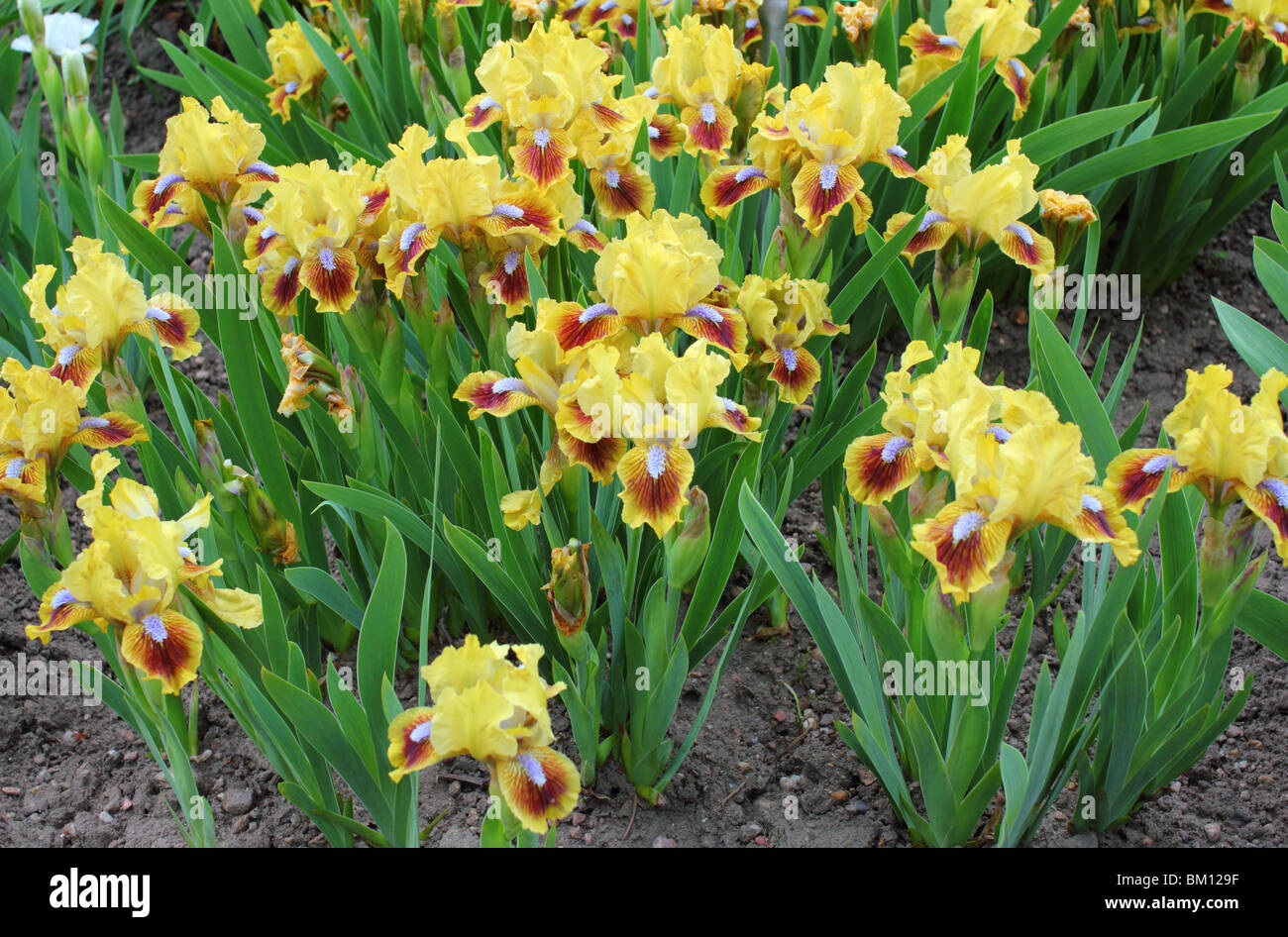 Yellow brown Iris 'Golden ruby' flowers close up - Stock Image
