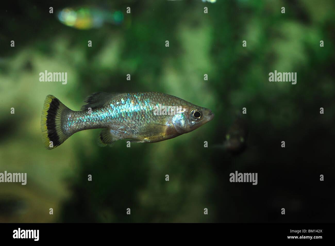 Butterfly splitfin, Ameca splendens, extinct in wild, captive - Stock Image