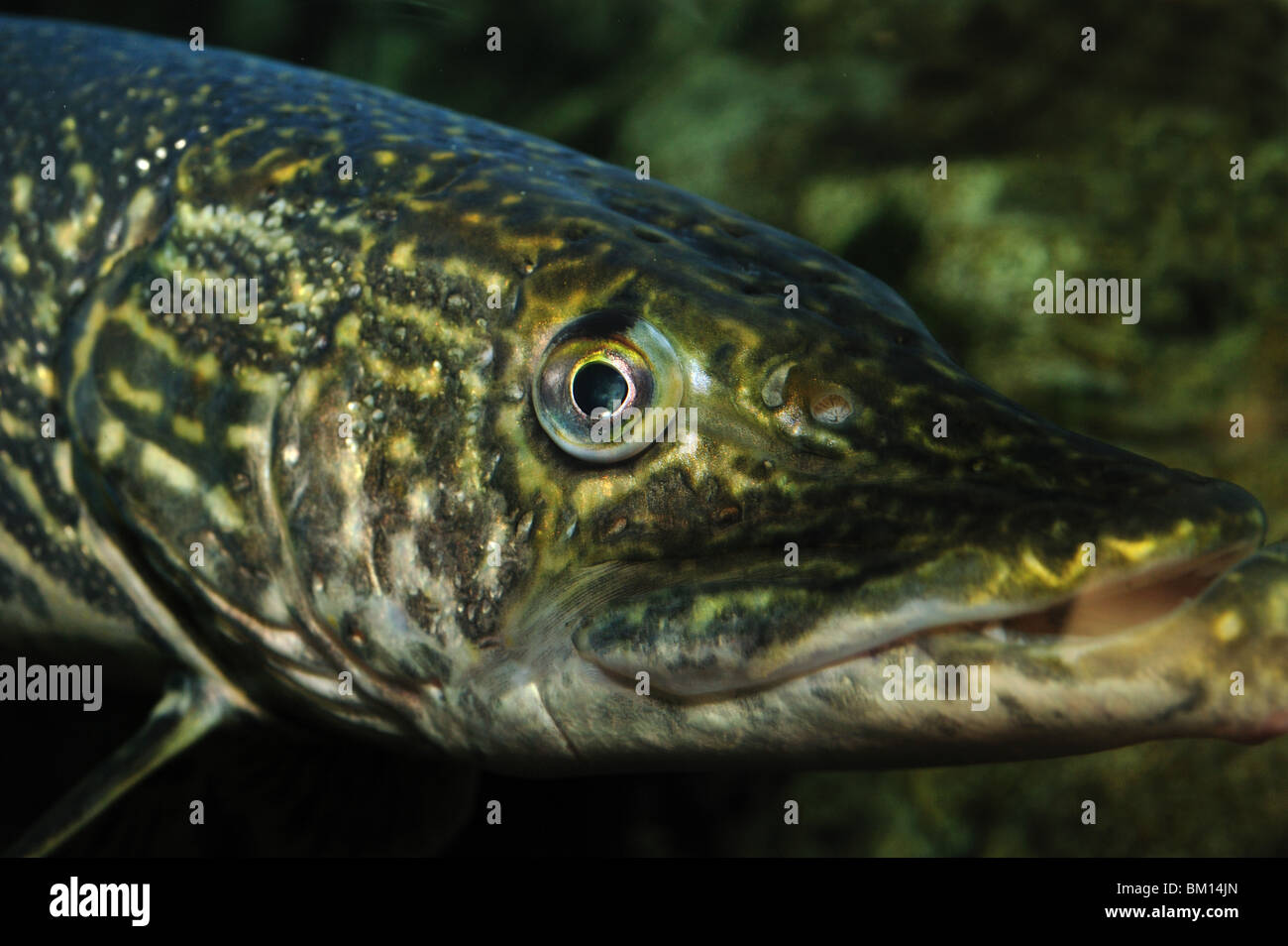 Northern Pike, Esox lucius, captive Stock Photo