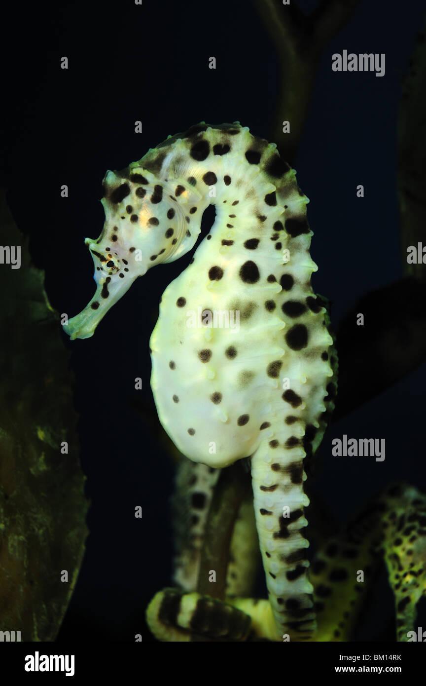 Pot-bellied seahorse, Hippocampus abdominalis, captive - Stock Image